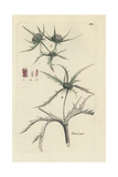 "Field Eryngo, Eryngium Campestre, From Pierre Bulliard's ""Flora Parisiensis,"" 1776, Paris Giclee Print by Pierre Bulliard"