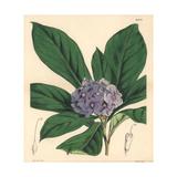 Hydrangea-like Fransiscea, Fransiscea Hydrangeaeformis Giclee Print by Walter Hood Fitch