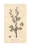 Balsam of Mecca, Commiphora Gileadensis Giclee Print by G. Reid