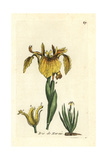 "Yellow Flag, Iris Pseudo-acorus, From Pierre Bulliard's ""Flora Parisiensis,"" 1776, Paris Giclee Print by Pierre Bulliard"