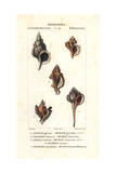 Murex Gyrinus, Murex Lotorium, Murex Cutaceus, Murice Cicoria And Haustellum Rock Snails Giclee Print by Jean Gabriel Pretre