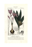"Meadow Saffron, Colchicum Autumnale, From Pierre Bulliard's ""Flora Parisiensis,"" 1776, Paris Giclee Print by Pierre J-F Turpin"
