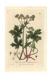 Wood Sanicle, Sanicula Europaea, From William Baxter's British Phaenogamous Botany, 1837 Giclee Print by Charles Mathews
