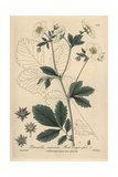 Rock Cinquefoil, Potentilla Rupestris, From William Baxter's British Phaenogamous Botany, 1839 Giclee Print by Isaac Russell