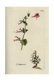 "Lesser Calamint, Melissa Calamintha, From Pierre Bulliard's ""Flora Parisiensis,"" 1776, Paris Giclee Print by Pierre Bulliard"