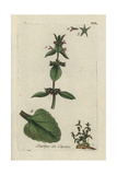 "Field Woundwort, Stachys Arvensis, From Pierre Bulliard's ""Flora Parisiensis,"" 1776, Paris Giclee Print by Pierre Bulliard"