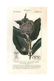 Common Milkweed, Asclepias Syriaca Giclee Print by Pierre J-F Turpin