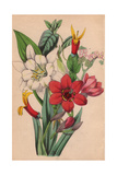 Streptanthera, Tournefortia, Siphocampylos And Ismene Giclee Print by James Andrews