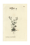 "Nailwort, Saxifraga Tridactylites, From Bulliard's ""Flora Parisiensis,"" 1776, Paris Giclee Print by Pierre Bulliard"