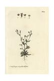 "Nailwort, Saxifraga Tridactylites, From Bulliard's ""Flora Parisiensis,"" 1776, Paris Giclee Print by Pierre Bulliard"