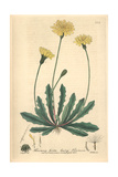 Hairy Thincia, Thincia Hirta, From William Baxter's British Phaenogamous Botany, Oxford, 1839 Giclee Print by Isaac Russell