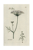 Great Pignut, Bunium Bulbocastanum Giclee Print by Pierre Bulliard