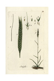 "Rye, Secale Cereale, From Pierre Bulliard's ""Flora Parisiensis,"" 1776, Paris Giclee Print by Pierre Bulliard"