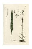 "Rye, Secale Cereale, From Pierre Bulliard's ""Flora Parisiensis,"" 1776, Paris Giclee Print by Pierre Bulliard"