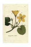 "Fringed Waterlily, Nymphoides Peltata, From Pierre Bulliard's ""Flora Parisiensis,"" 1776, Paris Giclee Print by Pierre Bulliard"