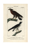 Buzzard And Hawk From Sainte-Croix's Dictionary of Natural Science: Ornithology, Paris, 1816-1830 Reproduction procédé giclée