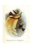 Lesser Bird-of-paradise Impression giclée