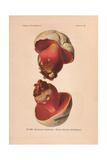 Poisonous Scarlet, Satan's Mushroom, Or Devil's Bolete Mushroom, Boletus Satanas Giclee Print by Leon Dufour