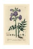 Blue Jacob's Ladder, Polemonium Caeruleum, From W. Baxter's British Phaenogamous Botany, 1835 Giclee Print by Isaac Russell