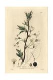 Wild Cherry, Prunus Cerasus, From William Baxter's British Phaenogamous Botany, 1834 Giclée-Druck von Isaac Russell