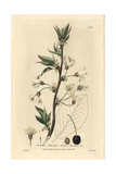 Wild Cherry, Prunus Cerasus, From William Baxter's British Phaenogamous Botany, 1834 Giclee Print by Isaac Russell