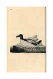 Razorbill From Edward Donovan's Natural History of British Birds, London, 1799 Reproduction procédé giclée par Edward Donovan