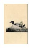 Razorbill From Edward Donovan's Natural History of British Birds, London, 1799 Giclee Print by Edward Donovan