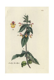"Limestone Woundwort, Stachys Alpina, From Pierre Bulliard's ""Flora Parisiensis,"" 1776, Paris Giclee Print by Pierre Bulliard"