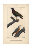 Starling And Nuthatch From Sainte-Croix's Dictionary of Natural Science: Ornithology Giclee Print