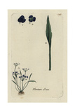 "Lesser Water Plantain, Alisma Ranunculoides, From Bulliard's ""Flora Parisiensis,"" 1776, Paris Giclee Print by Pierre Bulliard"