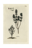 "Summer Savory, Satureja Hortensis, From Pierre Bulliard's ""Flora Parisiensis,"" 1776, Paris Giclee Print by Pierre Bulliard"