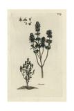 "Summer Savory, Satureja Hortensis, From Pierre Bulliard's ""Flora Parisiensis,"" 1776, Paris Giclee Print by Pierre Bulliard"