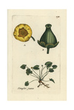 "Yellow Water Lily, Nuphar Lutea, From Pierre Bulliard's ""Flora Parisiensis,"" 1776, Paris Giclee Print by Pierre Bulliard"