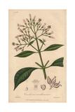Quinine Bark Tree, Cinchona Officinalis Giclee Print by G. Reid
