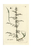 "Water Whorlgrass, Catabrosa Aquatica, From Pierre Bulliard's ""Flora Parisiensis,"" 1776, Paris Giclee Print by Pierre Bulliard"
