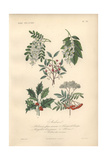 Black Locust Tree, Yellowwood Tree, Pink Spindle Tree, Holly, And Scarlet Rowan Tree Giclee Print by Edouard Maubert
