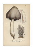 Ink Mushroom, Coprinus Atramentarius 1, And Grey Clavaria, Clavaria Cinerea 2 Giclee Print by Mordecai Cubitt Cooke