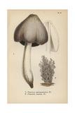 Ink Mushroom, Coprinus Atramentarius 1, And Grey Clavaria, Clavaria Cinerea 2 Giclee Print by Mordecai Cubitt Cooke