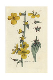 "Moth Mullein, Verbascum Blattaria, From Pierre Bulliard's ""Flora Parisiensis,"" 1776, Paris Giclee Print by Pierre Bulliard"
