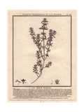 Basil Thyme Or Wild Basil, Acinos Arvensis Giclee Print by Pierre Bulliard