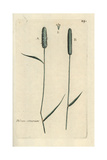 "Sand Timothy, Phleum Arenarium, From Pierre Bulliard's ""Flora Parisiensis,"" 1776, Paris Giclee Print by Pierre Bulliard"
