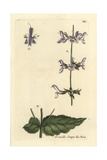 "Woodland Sage, Salvia Sylvestris, From Pierre Bulliard's ""Flora Parisiensis,"" 1776, Paris Giclee Print by Pierre Bulliard"