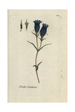 "Marsh Gentian, Gentiana Pneumonanthe, From Pierre Bulliard's ""Flora Parisiensis,"" 1776, Paris Giclee Print by Pierre Bulliard"