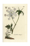 "Cow Parsley, Anthriscus Sylvestris, From Pierre Bulliard's ""Flora Parisiensis,"" 1776, Paris Giclee Print by Pierre Bulliard"