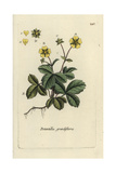 "Large-flowered Cinquefoil, Potentilla Grandiflora, From ""Flora Parisiensis,"" 1776, Paris Giclee Print by Pierre Bulliard"