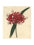 Rose-coloured Nerine, Nerine Rosea Giclee Print by John Curtis