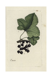"Blackcurrant, Ribes Nigrum, From Pierre Bulliard's ""Flora Parisiensis,"" 1776, Paris Giclee Print by Pierre Bulliard"