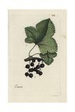 "Blackcurrant, Ribes Nigrum, From Pierre Bulliard's ""Flora Parisiensis,"" 1776, Paris Giclee Print by Pierre Bulliard"