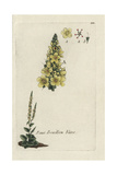 "White Mullein, Verbascum Lychnitis, From Pierre Bulliard's ""Flora Parisiensis,"" 1776, Paris Giclee Print by Pierre Bulliard"