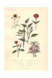 Tickseed, Crimson Zinnia, Purple Amaranth, Pink Marvel of Peru And Impatiens Giclee Print by Edouard Maubert